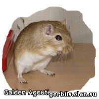 Golden Agouti